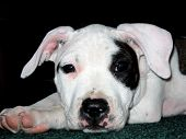 picture of pit-bull  - pit bull puppy - JPG