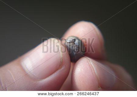 Castor Bean Tick ixodes Ricinus