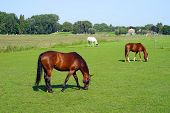 Grazing Brown Horses On The Green Field. Horses Grazing Tethered In A Field. Horses Eating In The Gr poster