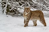 Eurasian Lynx (lynx Lynx) In The Snow-covered Taiga. On The Ears Are Long Tassels. The Eurasian Lynx poster