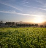 stock photo of olive trees  - the sun is setting on a field of grass and row of olive trees - JPG