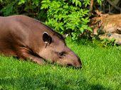 foto of tapir  - Tapir - JPG