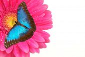 picture of blue butterfly  - Exotic butterfly on pink gerbera blossom - JPG