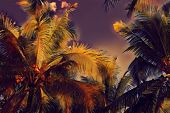 Coco Palm Tree On Sunset Sky. Tropical Nature Evening Landscape. Coco Palm Leaf Digital Illustration poster