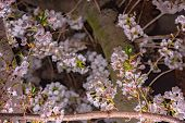 Cherry Blossom In Spring Season At Tokyo, Japan. Cherry Blossoms Will Start Blooming Around The Late poster