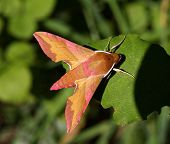 stock photo of small-hawk  - Colourful Small Elephant Hawk Moth resting on a leaf - JPG