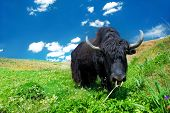 Black domesticated yak eating grass poster