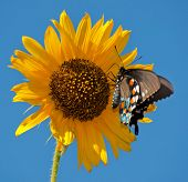 Green Swallowtail butterfly on Sunflower against blue summer sky