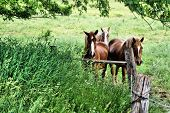 foto of shire horse  - Three draft horses looking at you behind fence post - JPG
