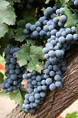 pic of wine grapes  - Grapes in a vineyard in Mendoza Argentina - JPG