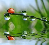 stock photo of bubble sheet  - fresh morning dew and ladybird - JPG