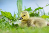 Little baby Canada goose near water