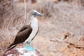 foto of booby  - Blue footed booby at Galapagos island of  North Seymour - JPG