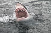 image of predator  - attack great white shark from the sea
