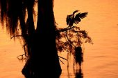 stock photo of tree snake  - An Anhinga - JPG