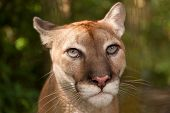 stock photo of cougar  - Sunlight filtering through jungle foliage lights up the head of a cougar who is staring with intent - JPG