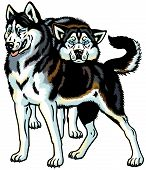 stock photo of husky sled dog breeds  - siberian husky sled dogs - JPG