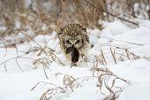 stock photo of snow owl  - Short - JPG