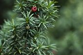 stock photo of stewardship  - Close up of Yew Tree branch with red berries