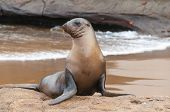 stock photo of sea lion  - Single Galapagos sea lion upright on beach - JPG