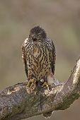 image of goshawk  - A captive young Goshawk Accipiter gentilis.calling while perched on a tree branch. ** Note: Slight graininess, best at smaller sizes - JPG