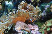 pic of clown fish  - Clown fish and anemone - JPG