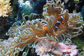 stock photo of clown fish  - Clown fish and anemone - JPG
