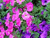 stock photo of petunia  - Many big flowers of pink and purple petunias - JPG