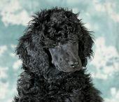 picture of standard poodle  - standard poodle puppy portrait  - JPG