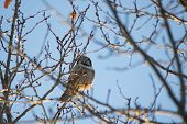 stock photo of snowy owl  - Snowy owl perched on a tree branch - JPG