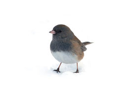 stock photo of snowbird  - Photograph of a Dark - JPG