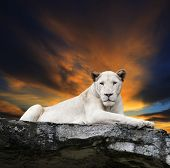 foto of lioness  - close up face of white lioness lying on rock cliff against beautiful dusky sky - JPG
