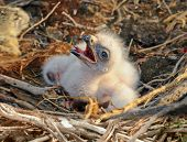 pic of buzzard  - Long legged Buzzard young chick in the nest - JPG