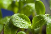 image of borage  - Macro shot leaves of borage seedling wetted with water drops - JPG