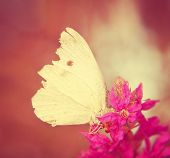 foto of angiosperms  - a white butterfly on a purple flower done with a soft instagram like filter - JPG