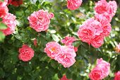 pic of climber plant  - Beautiful roses on green bush - JPG