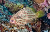 image of grouper  - Grouper on a coral reef in the tropics
