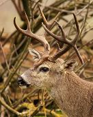 picture of black tail deer  - A trophy Black-tailed Deer with a drop tine in California.