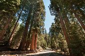 foto of sequoia-trees  - Sequoia tree street in national park california - JPG