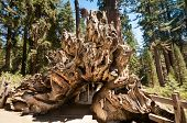 pic of sequoia-trees  - tree root wood in Sequoia national park - JPG