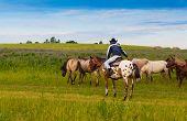 pic of herd horses  - cowboy on a skewbald horse drives herd of horses - JPG