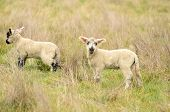 foto of spring lambs  - Oregon spring lambs in a ranch pasture