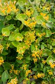 pic of honeysuckle  - A close up of a yellow honeysuckle bush in flower  - JPG
