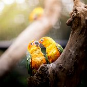 pic of sun perch  - a couple of Sun Conure Parrot on the tree  - JPG