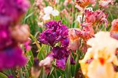stock photo of gladiolus  - Gladiolus in perennial garden on sunny day - JPG