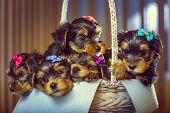 stock photo of yorkshire terrier  - Five adorable little Yorkshire terrier dog puppies with head fur tied with colorful bows resting in a basket - JPG