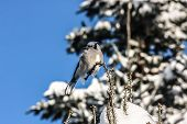 picture of blue jay  - blue Jay sitting on a limb of a fir tree Quebec Canada - JPG