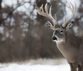 stock photo of buck  - Trophy white - JPG