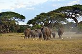 stock photo of kilimanjaro  - Elephant with Mount Kilimanjaro in the background