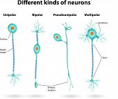 foto of nerve cell  - Different kinds of neurons - JPG
